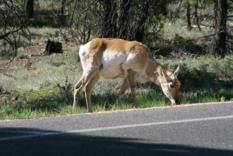 Antilope Bryce Canyon