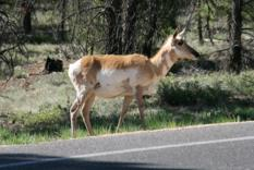 Pronghorn Bryce Canyon