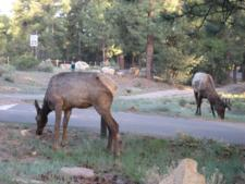 Wildlife Grand Canyon